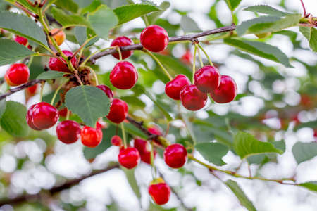 Ripe red berries cherry on the branches of the tree Archivio Fotografico