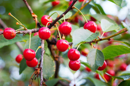 Vintage red ripe cherry on tree. Cultivation of cherries