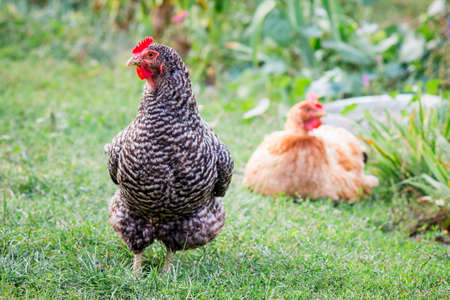Multicolored chickens in a farm garden. Breeding and growing chickens