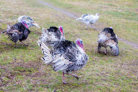 Turks are walking in the courtyard of the farm. Cultivation of turkeys