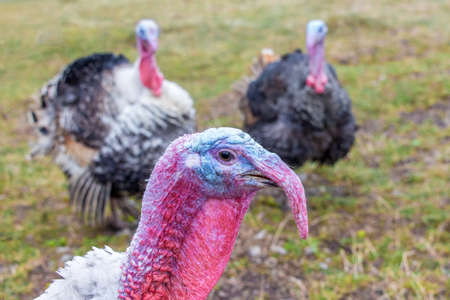 Portrait of a turkey close up on the background of other turkeys
