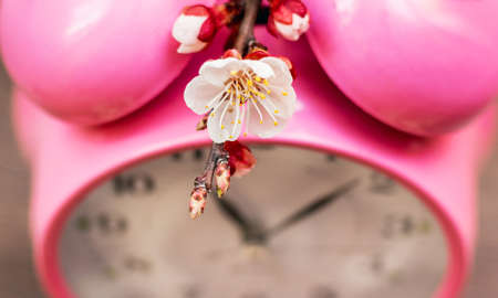 Apricot flower near the clock. Spring has come. Time to blossom trees Reklamní fotografie