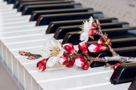 Branch of apricot with flowers on the piano keys. The melody of spring