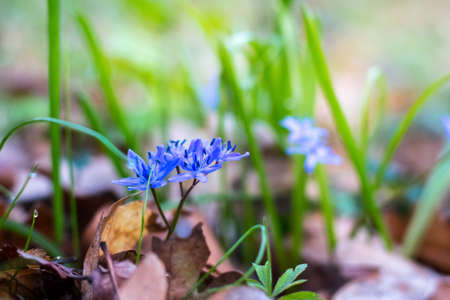 Siberian squill (Scilla siberica) or blue snowdrop in the spring forest. First spring flowers Stock fotó