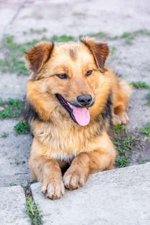 The young shaggy dog with his mouth open sits on the ground. The dog protects the farm
