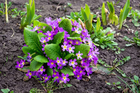 Purple flowers of primrose on a flower bed. First spring flowers