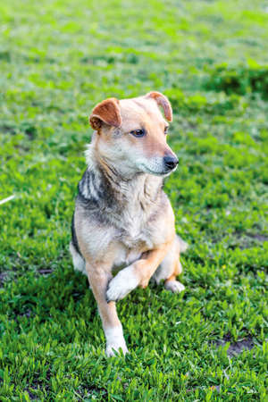 A small dog with a broken paw sits on the grass. Vertical format 免版税图像