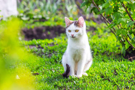 A white cat sits in the garden on the grass in sunny weather 版權商用圖片