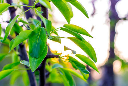 Brightly green leaves of pear on the background of the sky during the sunset Imagens