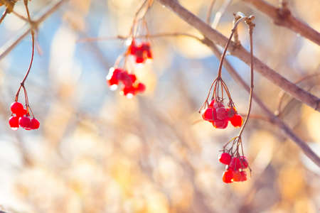 Red berries guelder rose with dew drops in the morning in the fall in sunny weather on a light background 免版税图像