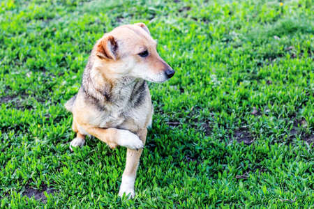 A small brown dog with a broken paw sits in the garden on the grass 免版税图像