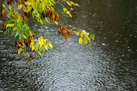 A branch with yellow and green leaves above the dark water of the river during the rain Zdjęcie Seryjne