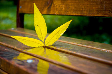 Yellow autumn leaf ash on a wet bench in the park