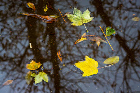 Yellow leaves float in the puddle during the rain in the fall