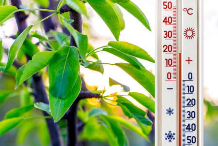 The thermometer on the background of the pear leaves shows a temperature of plus 20 degrees. Summer heat, good weather