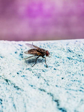 Big fly on a blue background. The fly is a carrier of infections