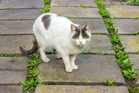 A white spotted cat on the sidewalk slabs looks in the eye