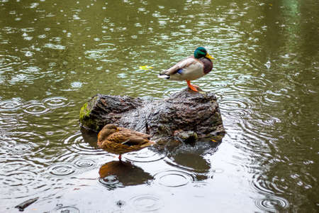 Ducks in the pond during heavy rain in the fall