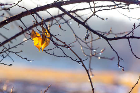 Two wet yellow leaves on a tree branch during rain in the fall