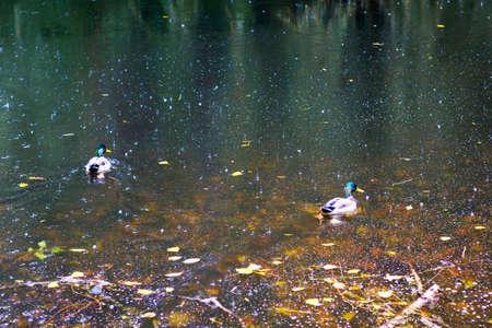 In the river during the rain in the autumn swim ducks