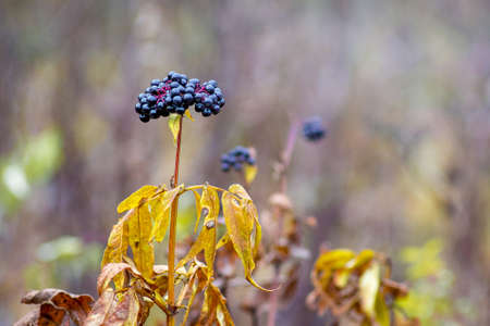 Black elderberry berries on a blurred background in the fall. Elderberry is a medicinal plant 免版税图像