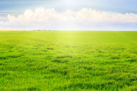 Field with green grass, flooded with sunlight. Light white clouds over a meadow with green grass