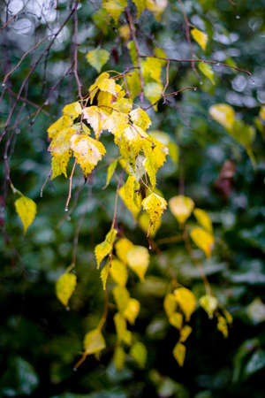 Birch branch with yellow wet leaves on a dark background