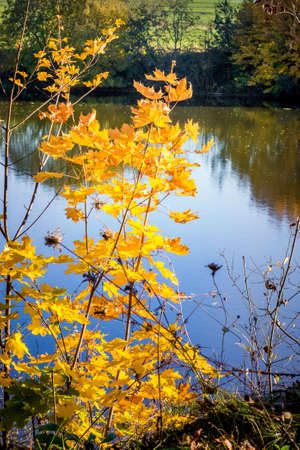 A branch with yellow maple leaves on the background of the river reflecting trees
