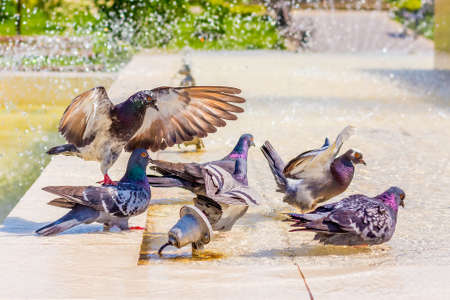 Pigeons drink water at the fountain and look for coolness on a hot day Stock Photo