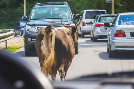 A cow goes on a highway among cars, creating an emergency. An animal on the road obstructs traffic