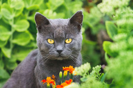 A gray cat with yellow eyes sits in a garden in a flower bed