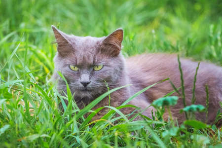A gray cat with a harsh, menacing look sits in the grass