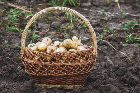Wicker basket with potatoes in the garden. Harvesting potatoes