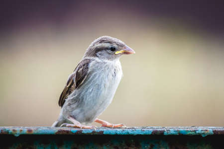 Young carefree sparrow on a blurred background 版權商用圖片