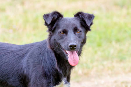 Black dog with focused look on blurred background Stock Photo