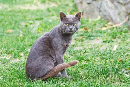 A dark gray cat with a careful look sits on the grass 版權商用圖片