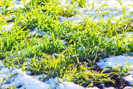 Green winter wheat sprouts on field under cover of first snow in sunny weather