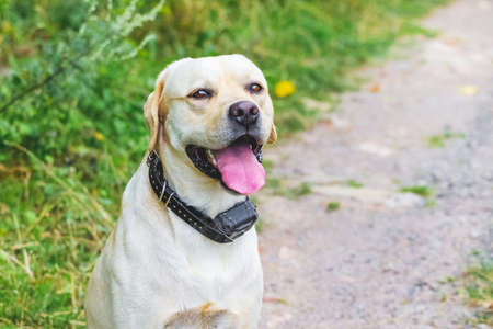 Labrador dog with mouth open on forest road background