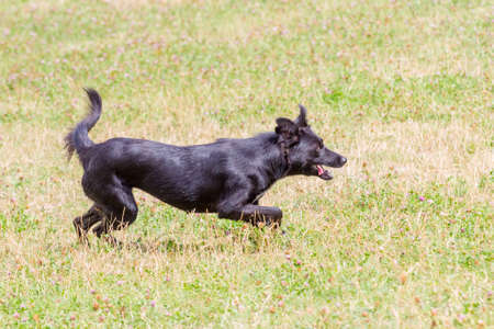 Black dog running fast across the field
