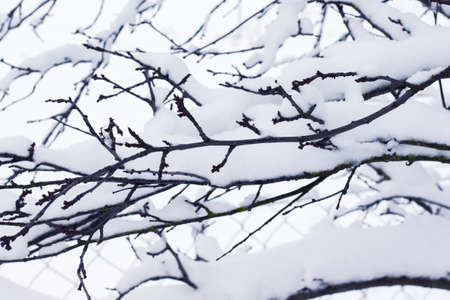 Tree branch covered with snow cap. Winter came 版權商用圖片