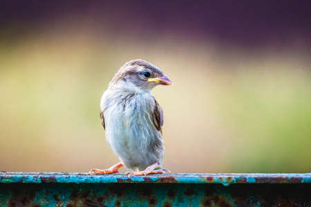 Young sparrow looking to the side on blurred background