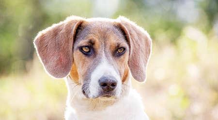Estonian hound dog on blurred background, closeup portrait