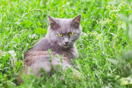 Portrait of a gray cat with a stern look. The cat sits in the grass 版權商用圖片