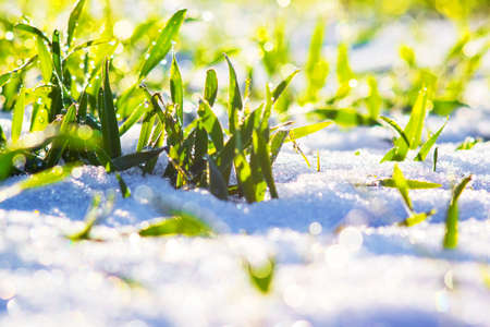 Green grass under the snow in sunny weather. Snow in the spring. 新聞圖片