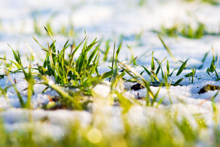 Green sprouts of winter wheat under cover of first snow in sunny weather
