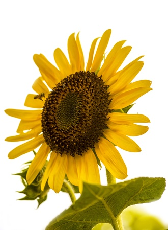Sunflower and bee isolated on white photo
