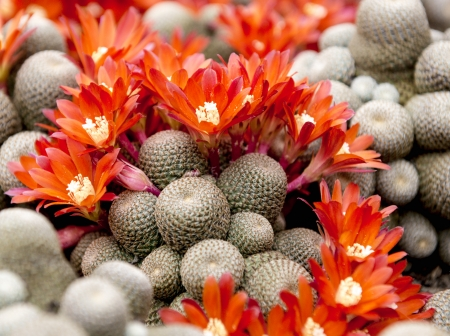 Cactus blooming with red flowers