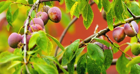 Red ripe plums on the tree in a garden photo