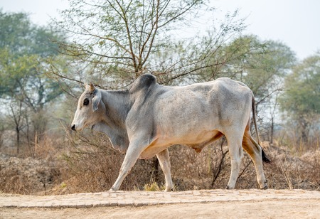 striding: Bull striding on a road in a sanctuary, India