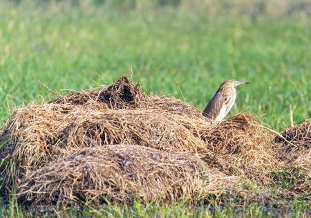 bittern: Indian Bittern sitting in a haystack in grass